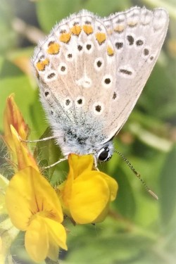Underwing of common blue butterfly feeding on yellow bird's-foot trefoil flower. Copyright Stephanie Boon, 2018, All Rights Reserved.