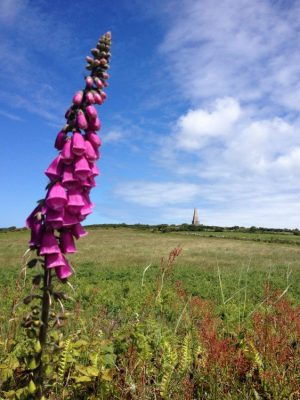 View of Knill's Steeple, with a foxglove in the foreground, from the St Michael's Way trail, Cornwall.