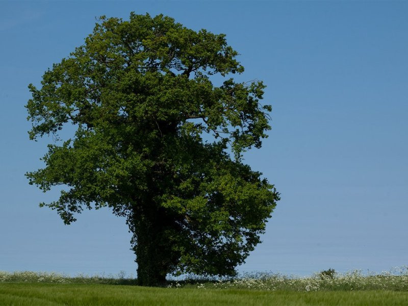 Single oak tree against a clear blue sky. Norfolk, UK, Peddars Way national trail. 2018. Copyright Stephanie Boon, 2018. All Rights Reserved.