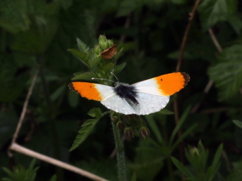 Orange Tip butterfly on a hedgerow plant, Norfolk, UK. Norfolk, Peddars Way, National Trail, 2018. Copyright Stephanie Boon, 2018. All Rights Reserved.