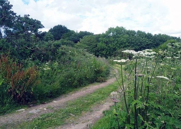 A farm track lined with hogweed on the Mineral Tramways Trail, Cornwall, UK. June 2019.