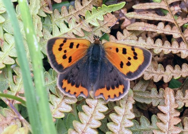 Small copper butterfly, mostly black with orange fore wings and an orange band along the edge of the hind wings.