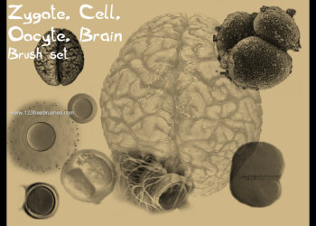 Zygote – Cell – Oocyte – Brain