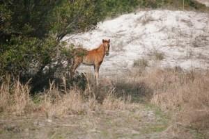 A wild horse sighting on Cumberland Island