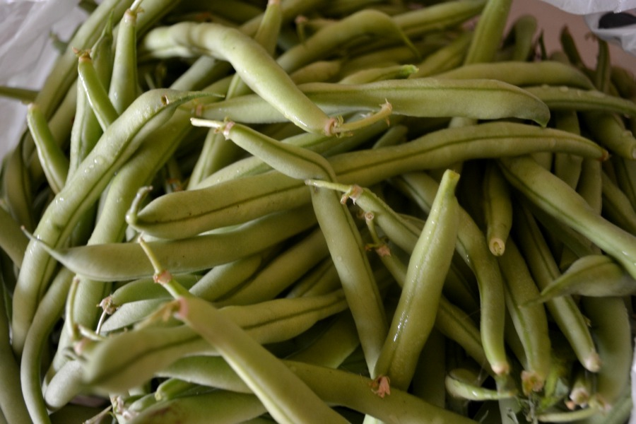 Harvested green beans ready to be turned into dill beans