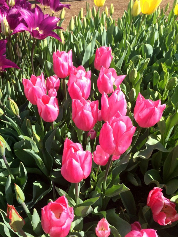 Tulips planted in the Fall will be beautiful come Spring