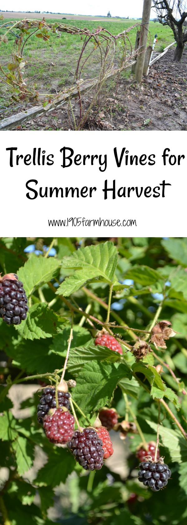 How to trellis berry vines in the spring to make your summer harvest easier