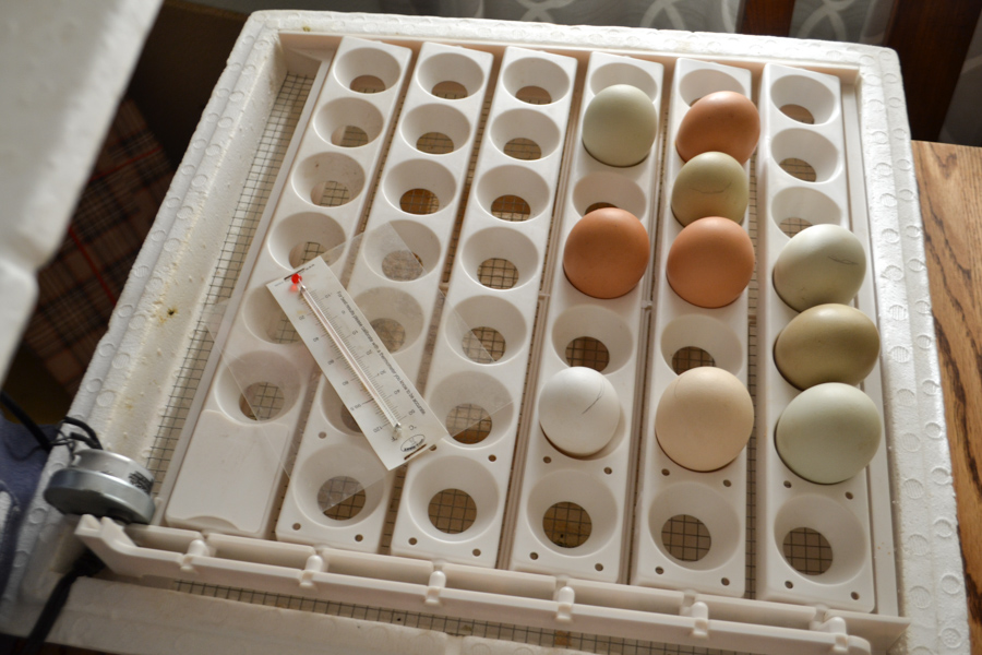 An above view of eggs set in an egg turner with a thermometer set on the left side