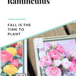 Two packages of ranunculus laying on a wood deck with a text overlay on the top