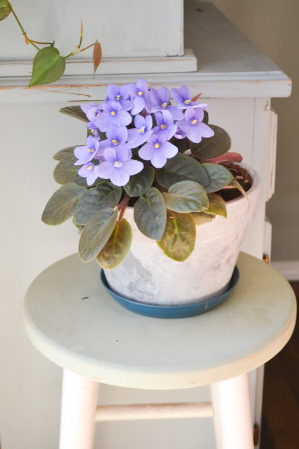 A close up of a purple blooming African violet with leaves below in a white pot on a green stool