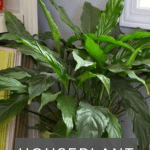 A green peace lily sitting on a floor with text overlay