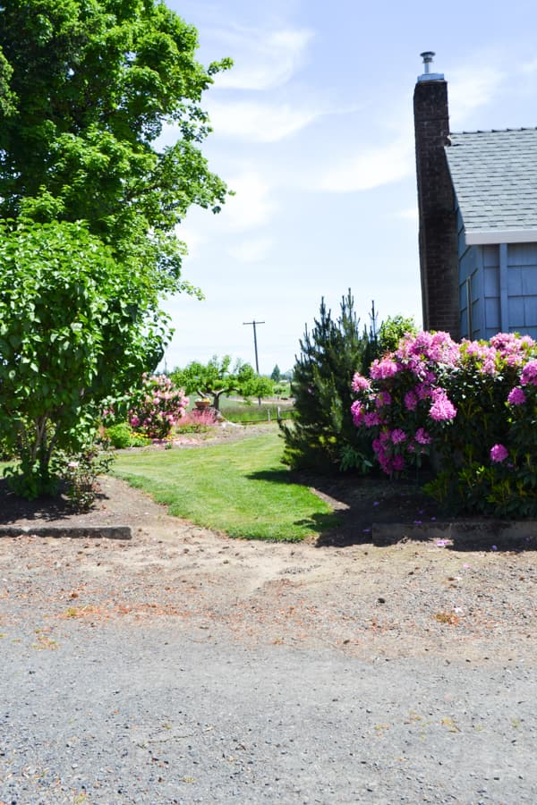 The edge of a grass yard with a blooming rhodedendron bush on the right and a tree on the left with a gravel driveway in the foreground