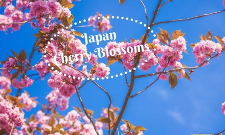 Quick Guide:  See The Remarkable Japan Cherry Blossoms