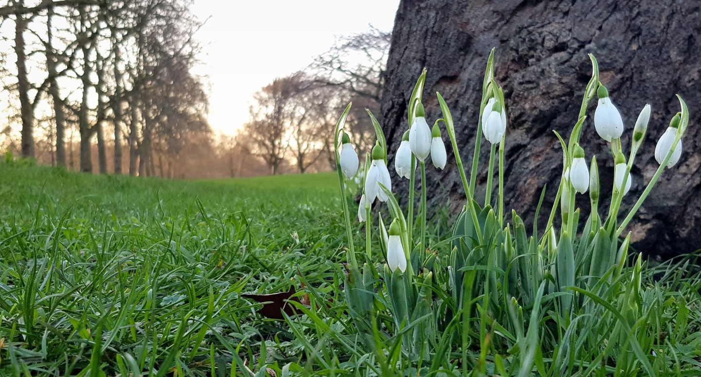 St James's Park - snowdrops in the foreground, as the spring sun sets behind