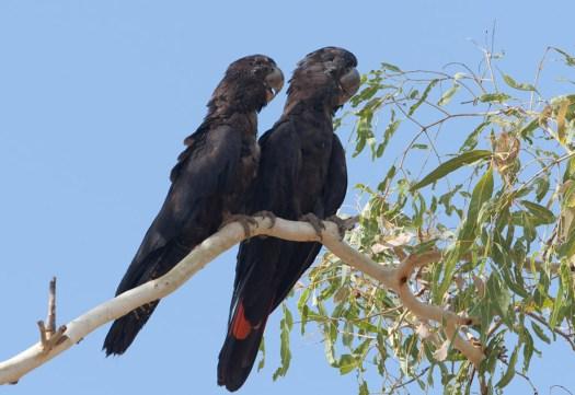 Black Cockatoo Kakadu