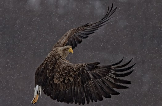 Banking Eagle