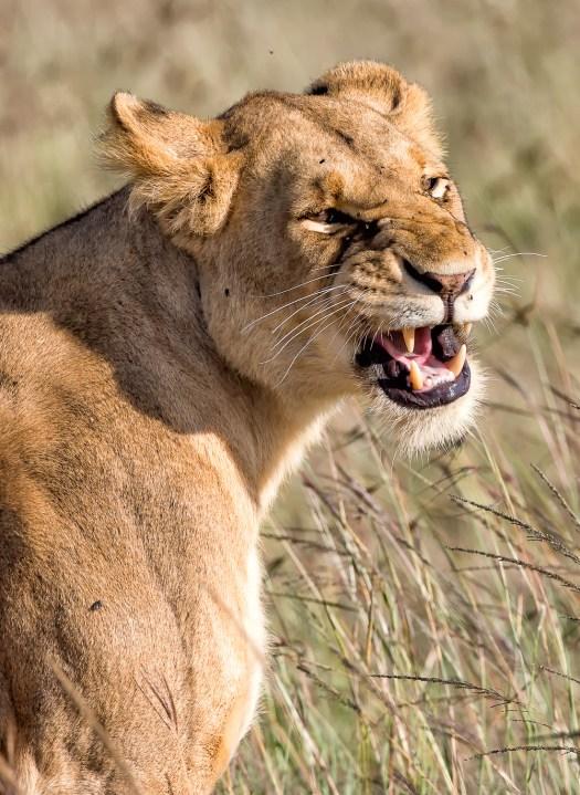 Masaai Mara Lioness