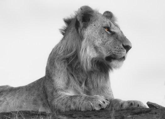 Lion Masaai Mara