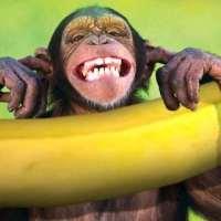 Conselho para macaco novo