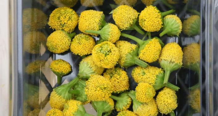 Antalya'da yetiştirilen yenilebilir elektrik çiçeğine yoğun ilgi