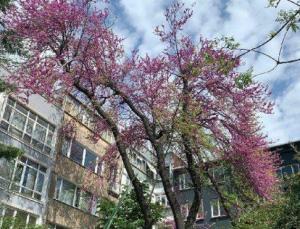 134 yıllık ağacı mahalleli kurtardı