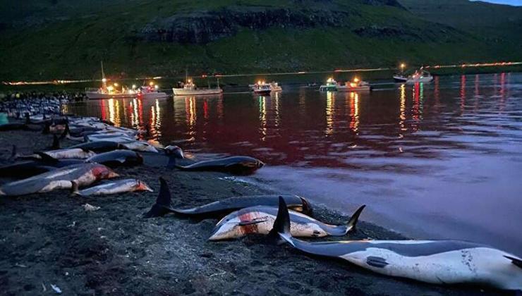 faroe adaları'nda kanlı av: bin 500 yunus bir gecede katledildi