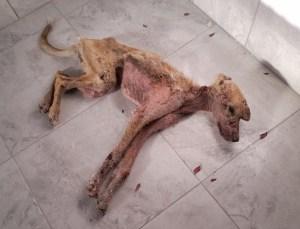 Açlıktan Ölen Köpek Tepkilerin Odağında!