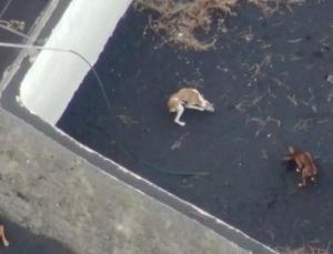 felaketi yaşayan la palma'da mahsur kalan köpekler drone ile kurtarılacak