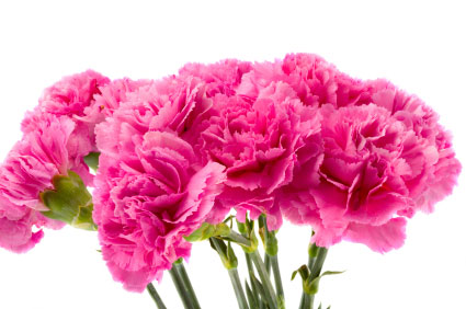 Birth Month Flower Of January The Carnation