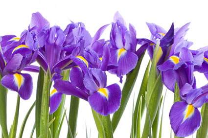 Birth Month Flower of February   The Iris iris flower
