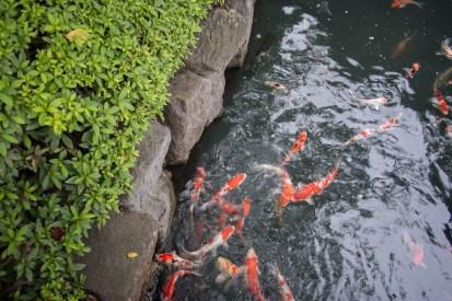"""Carp, or """"koi"""" in the small stream that runs through Senso-ji."""