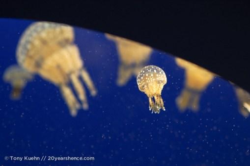 Jelly fish 06