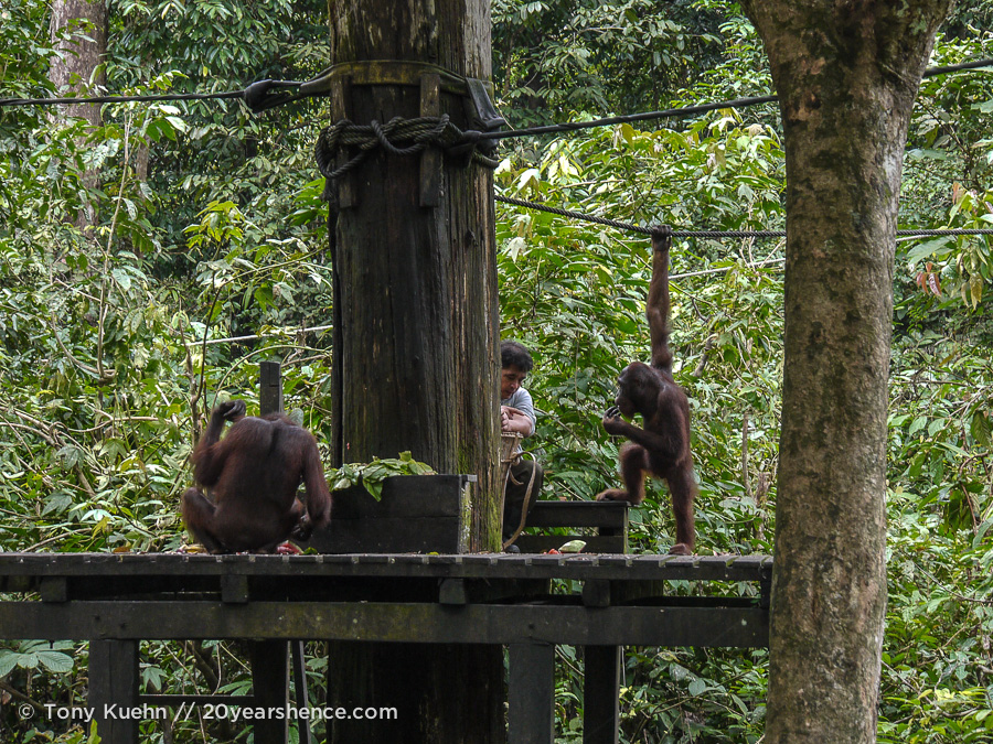 Wild orangutans feeding in Sepilok, Borneo