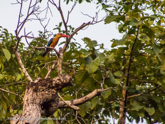 Kingfisher in a tree