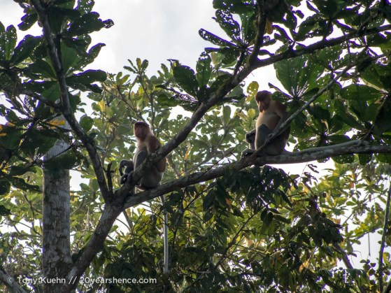 Wild proboscis monkeys
