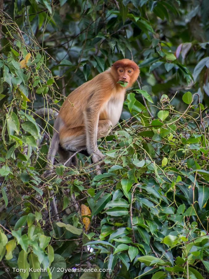 Juvenile proboscis monkey in Borneo