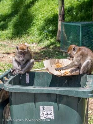 Monkeys eating garbage at the Batu Caves