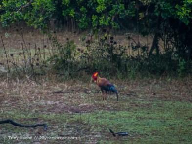 Sri Lankan Junglefowl