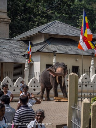An elephant in the Temple of the Tooth, Kandy, Sri Lanka