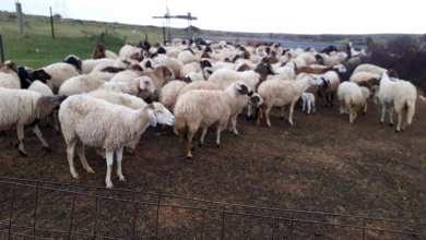 وسرقة الأغنام من مزارع منطقة العزيزية.