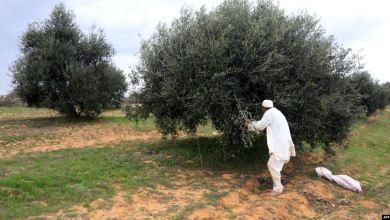 زراعة وقطف الزيتون في ليبيا- إرشيفية