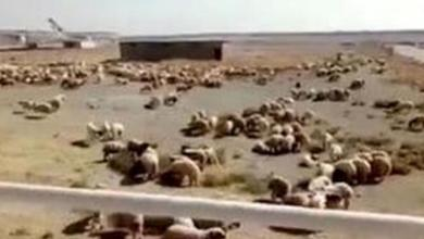 الخراف داخل مطار الخميني