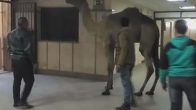 فيديو| جمل يقتحم مستشفى في مصر