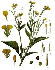 Brassica_juncea_-_Köhler–s_Medizinal-Pflanzen-168