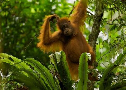 Proč se orangutani nedrží stromů?