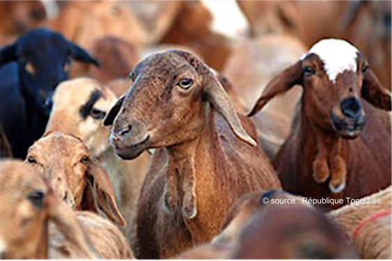 *République Togolaise* : Un plan stratégique en vue pour booster le secteur de l'élevage