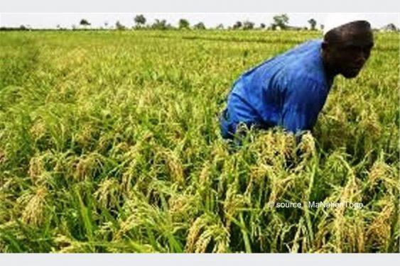 *Ma Nation Togo* : Filière riz: le Togo table sur une production de 817 004 tonnes à l'horizon 2030