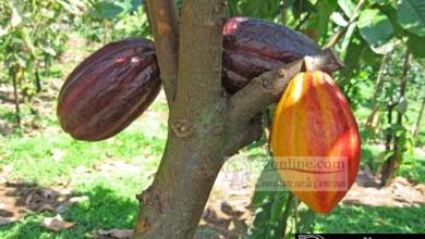 Champ de cacao