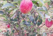 Photo of Pomme de France: La démocratisation de la culture fait chuter les prix