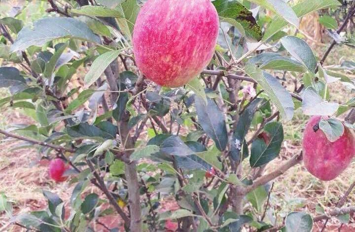 Pomme de France